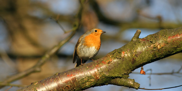 A robin in Sandwell Valley Country Park